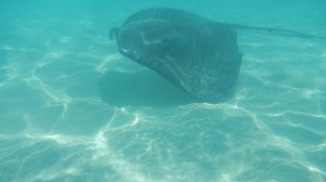 Sting Ray in Cayman Islands